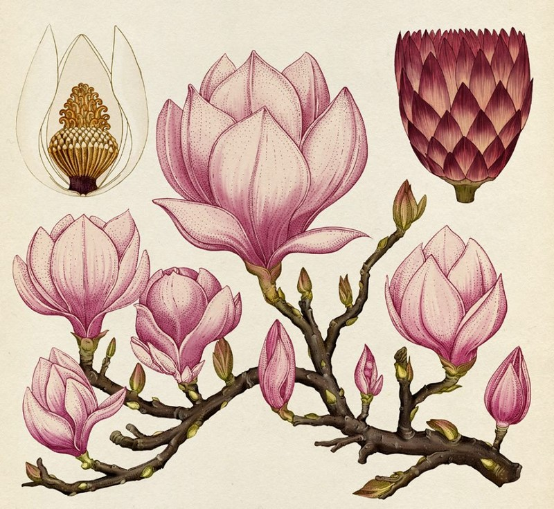 laminas botanicas, ilustracion, Katie Scott, laminas, ilustracion, ilustracion botanica